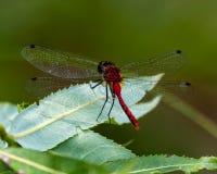 Röd slända på leafen Arkivfoton