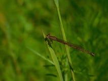 Röd slända som vilar på gräsbladet arkivfoto