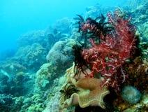 röd soft för koraller Royaltyfria Foton