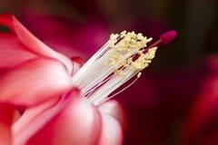 röd soft för tät blommafokus upp Royaltyfri Foto