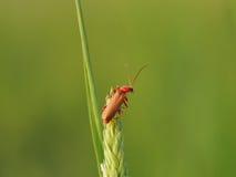 Röd soldat Beetle på grässtjälk Royaltyfri Bild