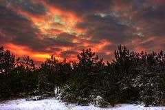 Röd solnedgång för vinter i den snöig pinjeskogen Royaltyfri Bild