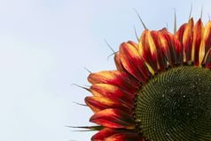 Röd solros Royaltyfri Fotografi