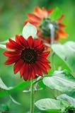 röd solros royaltyfri foto