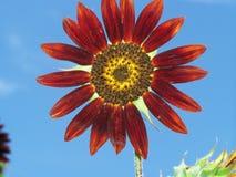 Röd solros Royaltyfria Bilder