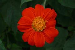 Röd solros eller mexicansk solros, slut upp Royaltyfria Bilder