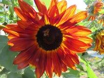 Röd solros med biet Fotografering för Bildbyråer