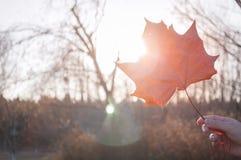 röd solskenlönnlöv Arkivbilder