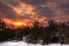 Röd soluppgång för vinter i den snöig pinjeskogen Royaltyfria Foton