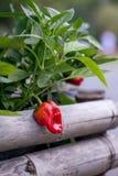 Röd spansk peppar på en stam Royaltyfria Bilder