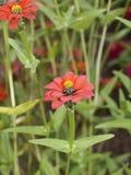 Röd spindel 01 för Zinniatenuiflora arkivfoto