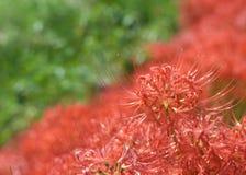Röd spindel Lily Buds Arkivfoto