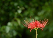 Röd spindel Lily Buds Royaltyfria Foton