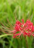 Röd spindel Lily Buds Royaltyfri Foto