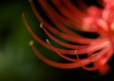 Röd spindel Lily Stamen Royaltyfri Foto