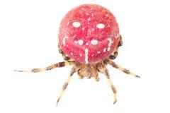 röd spindel Stor röd spindel med den vita färgfläcken på kropp På vitbakgrund Royaltyfria Bilder