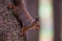 Röd squirell på ett träd med en mutter Royaltyfri Foto