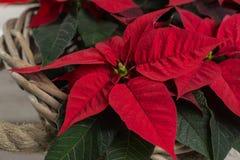 Röd stjärnajul blommar julstjärnan på lantlig träbakgrund royaltyfri foto