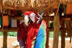 Röd stor papegoja Arkivbild