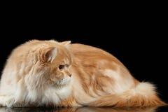 Röd stor vuxen perser Cat Angry Lies och vänd rätt på svart fotografering för bildbyråer
