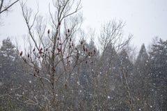 Röd sumach blommar under snöfall Arkivbild