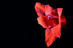 Röd svärdlilja Fotografering för Bildbyråer