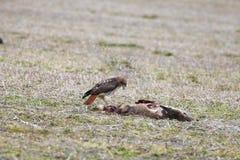 Röd-svans hök som matar på hjortkadavret Fotografering för Bildbyråer