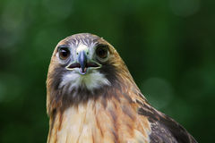 Röd svans Hawk Stare ner Royaltyfri Foto