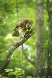 Röd svanshök i ett träd som matar på en orm Arkivfoton