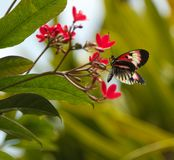 Röd svartvit fjäril arkivbilder