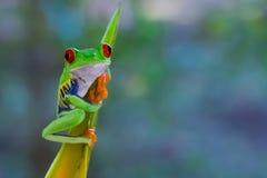 Röd synad bladgroda i Costa Ri Fotografering för Bildbyråer