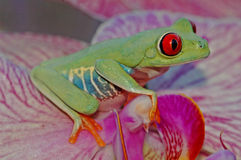 Röd-synad treefrog (Agalychnis callidryas) Arkivbild