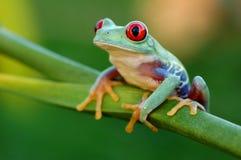 Röd-synad treefrog (Agalychnis callidryas) Arkivfoton