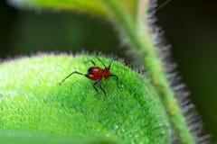 Röd syrsa Arkivfoto