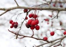 Röd törnbuskefrukt på filialen i vinterdag royaltyfri foto