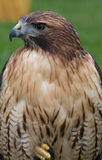 Röd Tailed hök Royaltyfri Foto