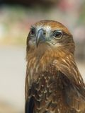 Röd-tailed hök Royaltyfri Fotografi