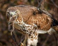 Röd-tailed hök Royaltyfri Foto