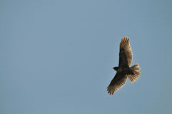 Röd-tailed Hawk Silhouette Royaltyfri Fotografi