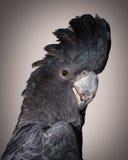 Röd-tailed kakadua Royaltyfria Foton