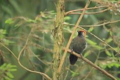 Röd-tailed laughingthrush Arkivfoton