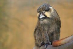 Röd-tailed moustached apa Fotografering för Bildbyråer