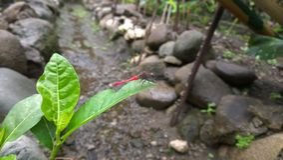 Röd-tailed slända royaltyfria foton