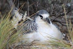 Röd-tailed Tropicbird fågelunge Royaltyfri Bild