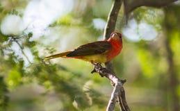 Röd Tanager Royaltyfria Bilder