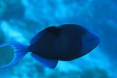 Röd-tandad triggerfish Royaltyfri Bild