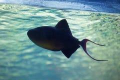 Röd-tandad triggerfish & x28; Odonus niger& x29; Royaltyfri Fotografi