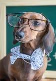 Röd taxhund på trätabellen Arkivfoto