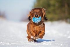 Röd taxhund som utomhus kör i vinter royaltyfria bilder