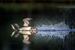 Röd-throated dykare och fisklåset Arkivbild
